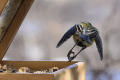 Tomtit in flight Royalty Free Stock Image