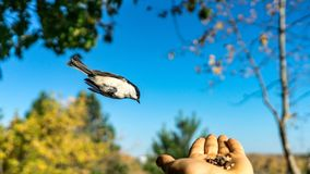 Tomtit is flying, autumn in Siberia, Tomsk. Tomtit is flying, autumn in Siberia, Tomsk stock photography
