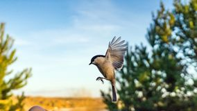 Tomtit is flying, autumn in Siberia, Tomsk. Tomtit is flying, autumn in Siberia, Tomsk stock images