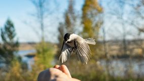 Tomtit is flying, autumn in Siberia, Tomsk. Tomtit is flying, autumn in Siberia, Tomsk royalty free stock images