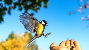 Tomtit is flying, autumn in Siberia, Tomsk. Tomtit is flying, autumn in Siberia, Tomsk royalty free stock photography