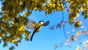 Tomtit is flying, autumn in Siberia, Tomsk. Tomtit is flying, autumn in Siberia, Tomsk royalty free stock photo