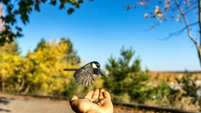 Tomtit is flying, autumn in Siberia, Tomsk. Tomtit is flying, autumn in Siberia, Tomsk royalty free stock photos