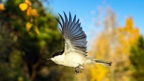 Tomtit is flying, autumn in Siberia, Tomsk. Tomtit is flying, autumn in Siberia, Tomsk stock photos