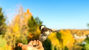 Tomtit is flying, autumn in Siberia, Tomsk. Tomtit is flying, autumn in Siberia, Tomsk stock image