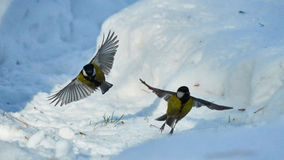 Tomtit is flying. Winter in Siberia. Russia stock image