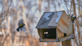 Tomtit is flying. Winter in Siberia. Russia royalty free stock photos