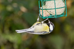 Tomtit with fodder Stock Image