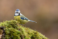Tomtit. A tomtit in a forest on the moss stock photos