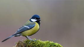 A tomtit in a forest on the moss, Beautiful tomtit. Beautiful bird, a tomtit in a forest on the moss royalty free stock image