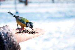 Tomtit on a hand Royalty Free Stock Photos