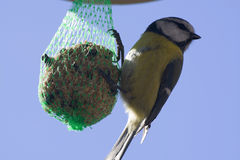 Tomtit Royalty Free Stock Images
