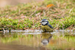Tomtit. A tomtit is having a bath in the water of the pool in the forest stock image