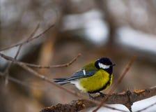 Tomtit llegó el parque del invierno Foto de archivo libre de regalías