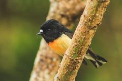 Tomtit masculino, subespecie de la isla del sur, pájaro nativo de Nueva Zelanda que se sienta en árbol en la colina del peñasco imagenes de archivo