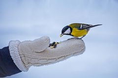 Tomtit pequeno de alimentação no inverno, cuidado do pássaro foto de stock royalty free