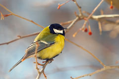 Tomtit perched on a branch. Tomtit perch on a branch, close up photo royalty free stock photo