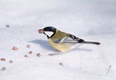 Tomtit with a pine nut Royalty Free Stock Photos