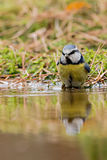 Tomtit. A tomtit at the pool in the forest royalty free stock photo