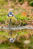 Tomtit. A tomtit at the pool in the forest with his mirror image royalty free stock image