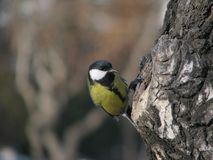 Tomtit sits near hollow Royalty Free Stock Image