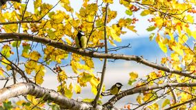 Tomtit sits on the tree, Tomsk. Tomtit sits on the tree, Tomsk royalty free stock images