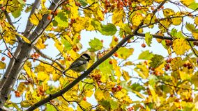 Tomtit sits on the tree, Tomsk. Tomtit sits on the tree, Tomsk stock photo