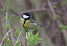 Tomtit. Sitting on branch of tree Royalty Free Stock Image