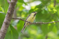 Tomtit sitting on branch of tree at summer. Close up of tomtit sitting on branch of tree at summer stock photography