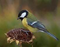 Tomtit and Sunflower. Tomtit searches for seed on autumn sunflower stock photos