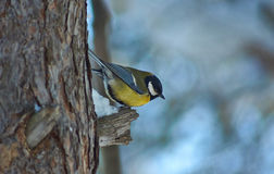 Tomtit on a tree in winter forest. Royalty Free Stock Photos