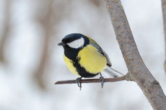 Tomtit on a twig Royalty Free Stock Photography