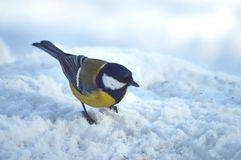Tomtit   in winter forest. Parus ater. Royalty Free Stock Image