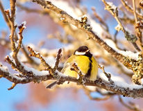 Tomtit. Yellow tomtit on the tree branch stock photos