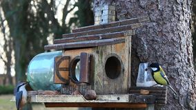 Tomtites and nuthatch on the feeding-rack seeks the birdseed stock footage