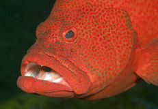 Tomto grouper Stock Images