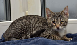 Tonårig kattunge 3 månader Arkivbild