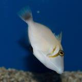 Tonåring Lei Triggerfish Royaltyfria Foton