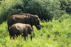 Tonåring och att behandla som ett barn den asiatiska elefanten inom udawalawenationalparken, Sri Lanka royaltyfria bilder