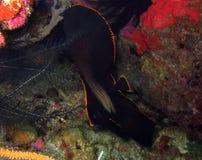 Tonåring skuggad Batfish Royaltyfri Foto