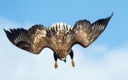Tonåringen Vit-tailed dyk för örn i flykten blå sky för bakgrund royaltyfri foto