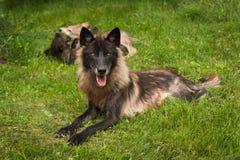 TonåringGrey Wolf Canis lupus agerar som Babysitter royaltyfria bilder