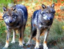 tonåringwolf för broder s Arkivfoto