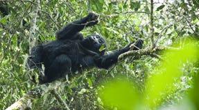 Tonårs- gorilla Fotografering för Bildbyråer