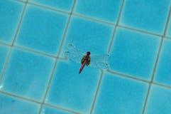 Tonący dragonfly Obraz Stock