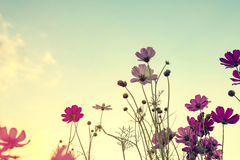 Ton de vintage de fleur de cosmos Images stock