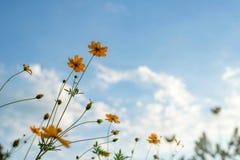 Ton de vintage de fleur de cosmos Photo libre de droits