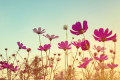 Ton de vintage de fleur de cosmos Photographie stock libre de droits