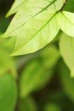 Ton vert de lumière de feuille Photo libre de droits