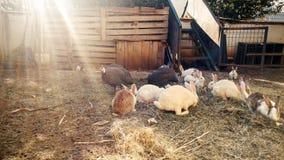 Tonad bild av kaniner och kalkon på liten lantgård royaltyfri foto